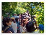 Hydrangea Festival