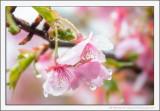 Sakura in the Rain