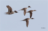 Northern Pintails  (courtship flight)