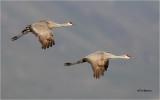Sandhill Cranes (lesser northern)