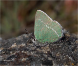 Sheridan's Hairstreak  (with the wing folded this litte guy is just a 1/2 inch tall)