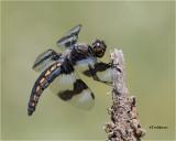 dragonflies__damselflies