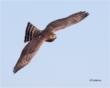 sharp-shinned_hawk_