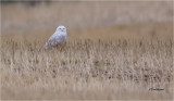 Snowy Owl   (this is a huge crop)