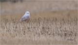 Snowy Owl   (this is a huge crop)