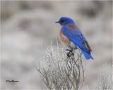 Western Bluebird (big Crop)