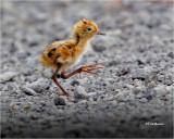 Wilson's Phalarope (chick)