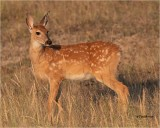 Whitetailed Deer (fawn)