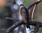 Coooper's Hawk