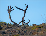 Caribou   (There is a live Caribou under those horns)