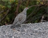 Spruce Grouse    ( Taken at ISO 25,600 amazed, it came out this well.)