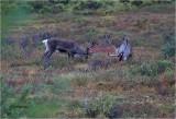 Caribou (Taken at ISO 25,600)