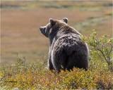 Grizzly Bear      (harsh light)