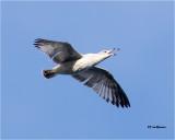Ring-billed Gull   (1st winter bird)