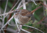 Song Sparrow (fluffed up for the cold)