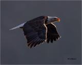 Bald Eagle  (backlit)