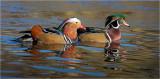 Wood-Mardarin Ducks