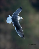 Lesser Black-backed Gull    (Rare Gull for north Idaho)