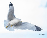 Ring-billed Gull  (seems healthy despite the loss of his foot.)