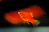 Aquarium Fish-Red Platy