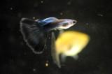 Aquarium Fish-Guppy