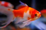Aquarium Fish-Gold Fish/Shubunkin