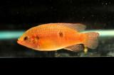 Aquarium Fish-Red Jewelry
