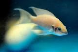 Aquarium Fish-Bricharde