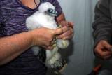 Chick Banding
