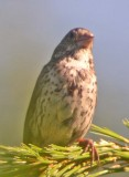 Monte Cristo Fox Sparrows
