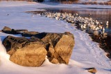 Boulders and Snow Geese