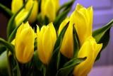 Tulips Reflection