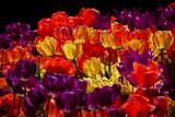 Tulips in Olde City #1