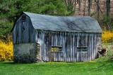 Forsythia & the Old Barn