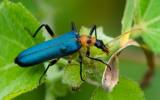 Soft-winged Flower Beetle 眼斑擬花螢 Idgia oculata