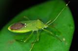 Coried Bug 草同緣蝽 Homoeocerus graminis