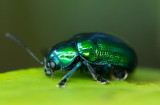 Flea Beetle 細背側刺跳甲 Aphthona strigosa