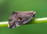 Ricanid Planthopper 廣翅蠟蟬
