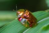Tortoise Beetle 金梳龜甲 Aspidomorpha sanctaecrucis
