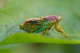 Green Glass Cicada 綠草蟬 Mogannia hebes