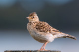 Eurasian Skylark---For Comparison--see also Ferals & introduced