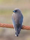 Dusky Woodswallow