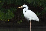 Great White Heron, Lovers Key SP, Fort Myers Beach, FL