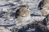 Florida banded birds, March 2017