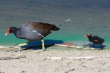 Moorhen (common gallinule) and chick, Naples, FL