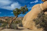 Lone Pinyon Pine