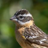 White-crowned Sparrow Zonotrichia leucophreys