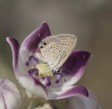 Lycaenidae (family of butterflies): 11 species Photo Gallery by