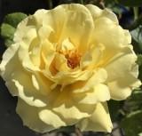 Yellow Domestic Rose