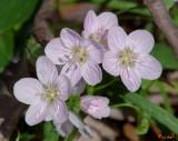 Virginia Spring-Beauty or Narrowleaf Spring-Beauty